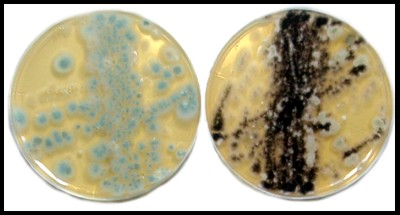 Mold in a petri dish